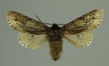 Brachionycha nubeculosa (Esper, 1785)