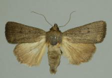 Amphipyra tragopoginis (Clerck, 1759)