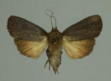 Amphipyra livida (Denis & Schiffermüller, 1775)