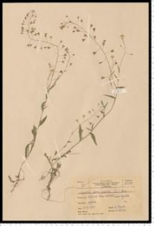 Capsella bursa-pastoris (L.) Medik.