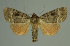 Amphipyra pyramidea (Linnaeus, 1758)