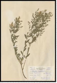 Genista tinctoria L.