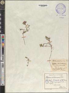Thymus pulcherrimus Schur