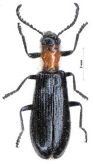 Tillus elongatus (Linnaeus, 1758)