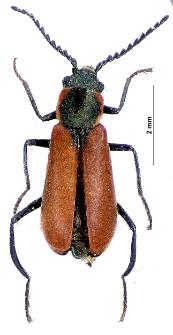 Anthocomus coccineus (Schaller, 1783)