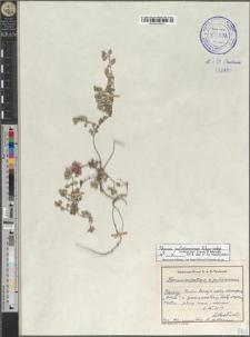 Thymus pulcherrimus Schur subsp. sudeticus (Lyka) P. A. Schmidt