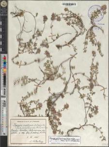 Thymus pulcherrimus Schur subsp. sudeticus (Lyka) P. A. Schmidt × pulegioides L.