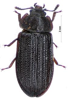 Grynocharis oblonga (Linnaeus, 1758)