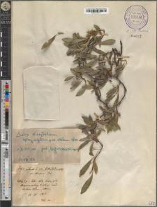 Salix retusa L. var. kitaibeliana Willd. ± fo. stenopus