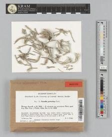 Roccella portentosa (Mont.) Darb.