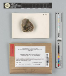 Acarospora dissecta K. Knudsen & Flakus