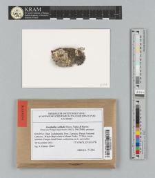 Abrothallus subhalei Etayo, Flakus & Kukwa