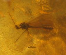 Limoniidae (Ceratocheilus)