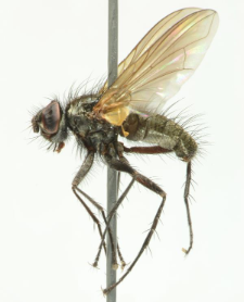 Macquartia grisea (Fallen, 1810)