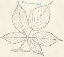 Rubus perrobustus
