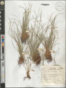Carex humilis Leyss.