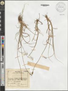 Carex Lachenalii