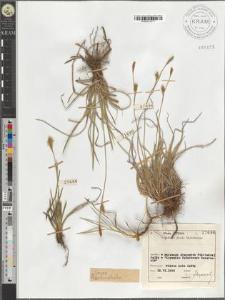 Carex Michelii
