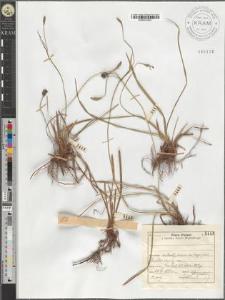 Carex Michelii Host.