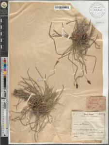 Carex mont[ana] L.