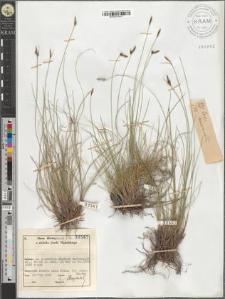Carex mucronata