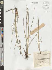 Carex nutans