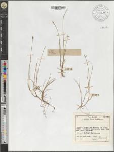 Carex pauciflora Lghf.