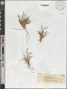 Carex pilulifera L. var. pygmaea Rac.