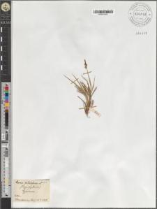 Carex pilulifera L.