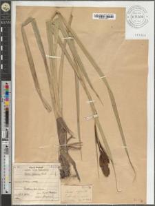 Carex riparia Curt.