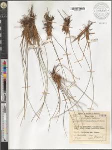 Trichophorum caespitosum (L.) Hartm.