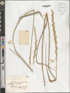 Agropyrum intermedium Beauv. var. megastachyum Podp.