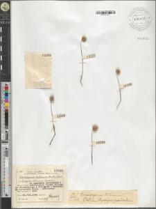 Eremopyrum triticeum (Gaertn.) Nevski
