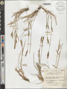 Anthoxanthum alpinum L. et L.
