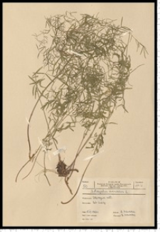 Astragalus arenarius L.