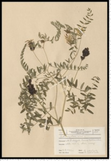 Astragalus cicer L.