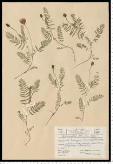 Astragalus danicus Retz.