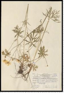 Ranunculus polyanthemos L.