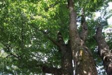 Zelkova serrata (Thunb.) Makino