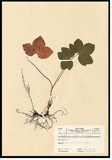 Hepatica nobilis Schreb.