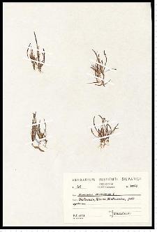 Myosurus minimus L.
