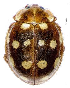 Calvia quatuordecimguttata (Linnaeus, 1758)