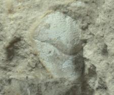 Goniodromites species