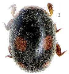 Platynaspis luteorubra (Goeze, 1777)
