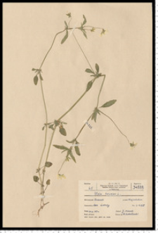 Viola tricolor L. s. s.