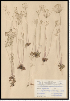 Androsace septentrionalis L.