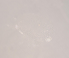 Sphaeridia pumilis