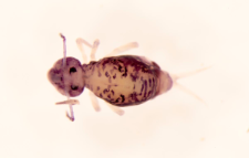 Dicyrtomina melitensis
