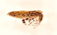 Entomobrya superba