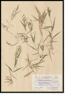 Stellaria holostea L.